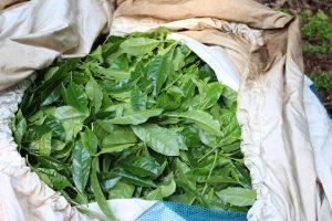 写真:収穫した茶葉