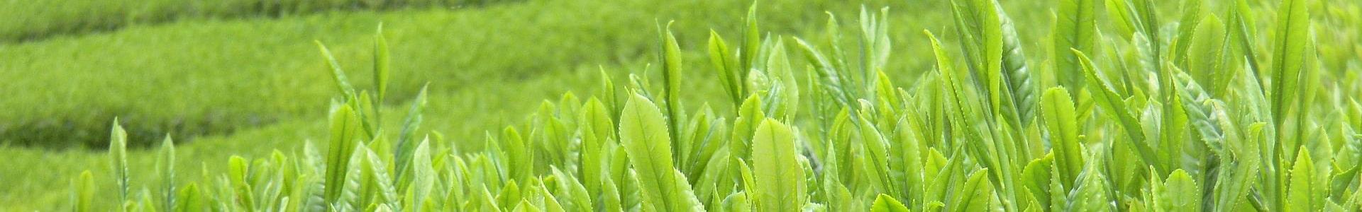 写真:茶葉