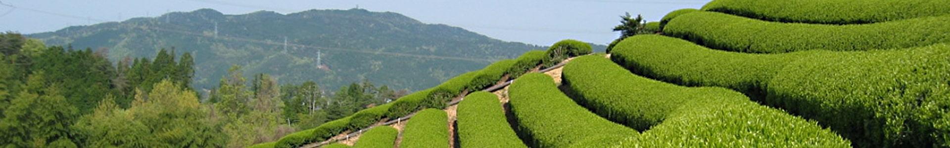 写真:茶畑